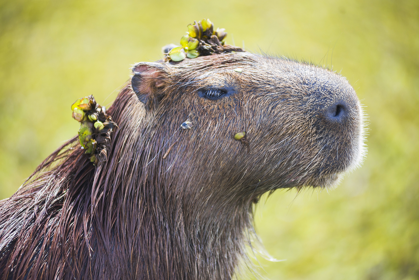Capybara (Hydrochoerus hydrochaeris), Ibera Wetlands (aka Ibera Marshes), a marshland area in Corrientes Province, Argentina