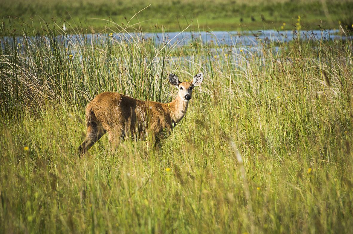 Marsh Deer (Blastocerus Dichotomus), Ibera Wetlands (aka Ibera Marshes), a marshland area in Corrientes Province, Argentina