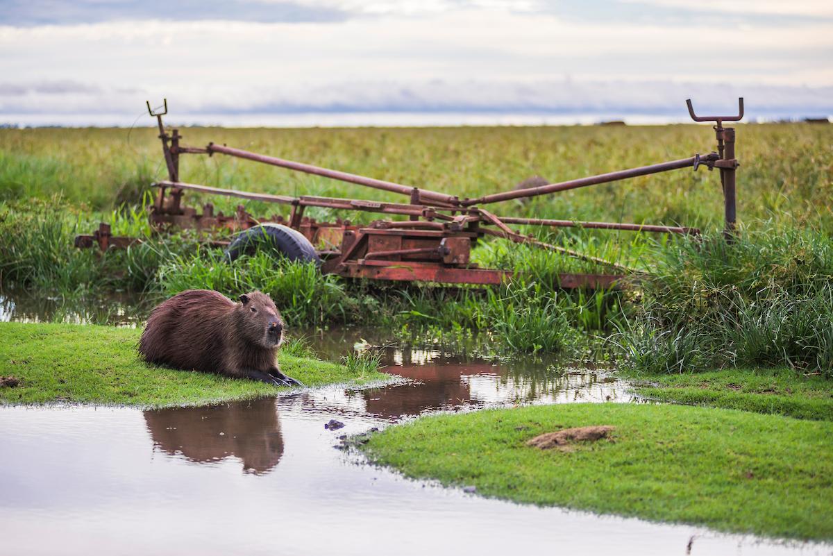 Capybara (Hydrochoerus hydrochaeris) at Estancia San Juan de Poriahu, Ibera Wetlands (Esteros del Ibera), Corrientes Province, Argentina