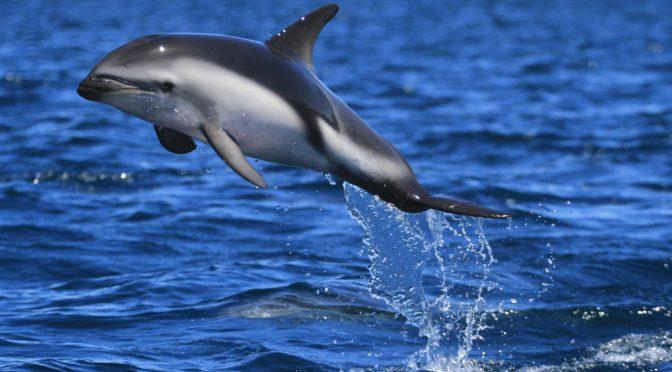 Dusky Dolphins at Sunrise
