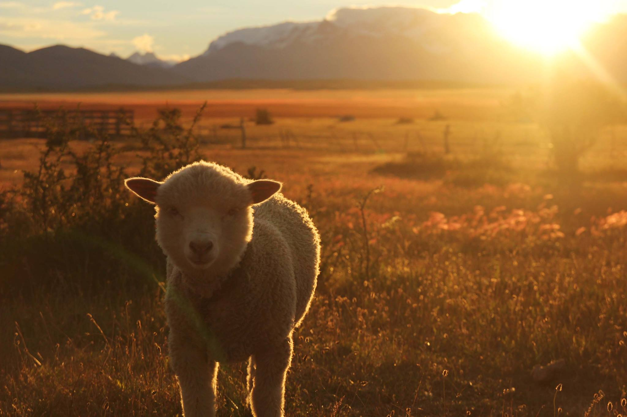 Free sheep!